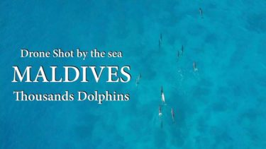 【Drone Shot by the sea】MALDIVES, Thousands Dolphins. / 海辺の空撮集 モルディブ 数千頭のイルカの群れ【4K】