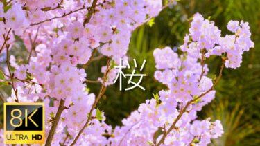 【桜 8K映像】シンガポールの桜 8K映像とピアノBGM、家でお花見気分|桜2021|Cherry blossom in Singapore 8K video shot by Sony a1